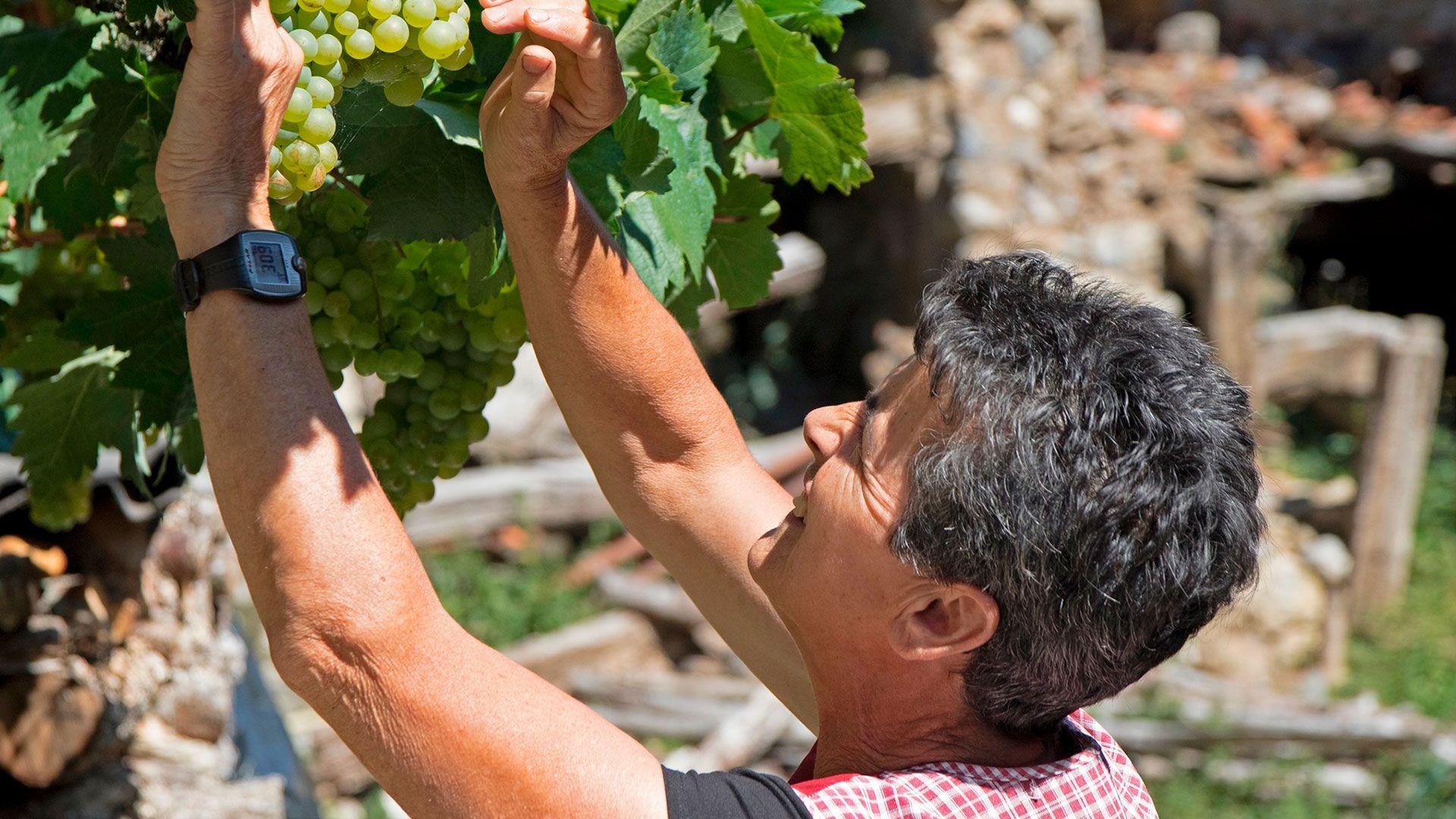 Señora recogiendo uvas