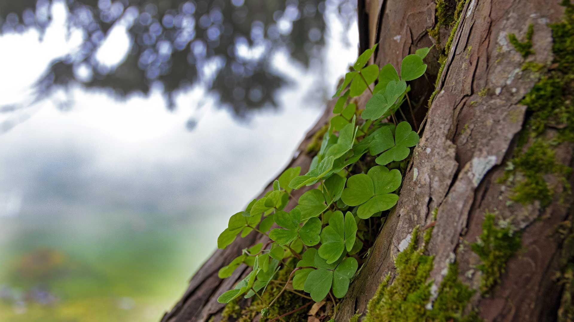 Tréboles árbol del Camino del Norte